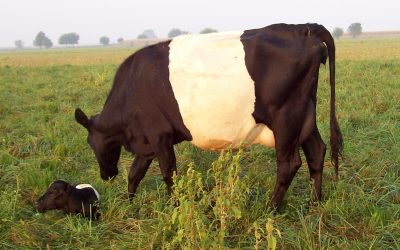 Our cows come with their own hormones
