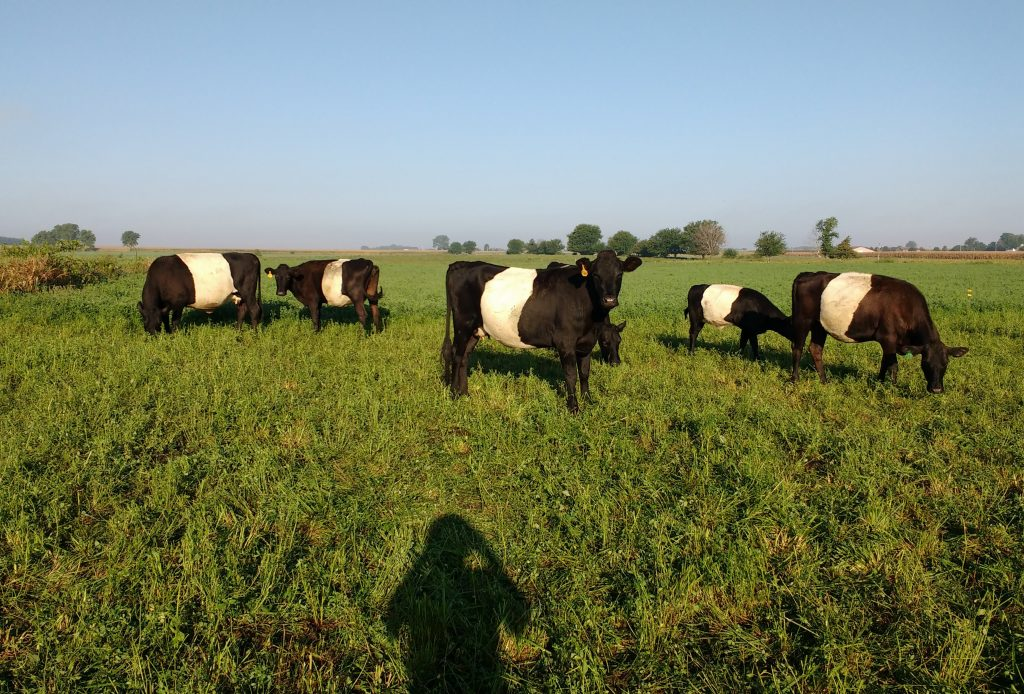Dutch Belted cows grazing